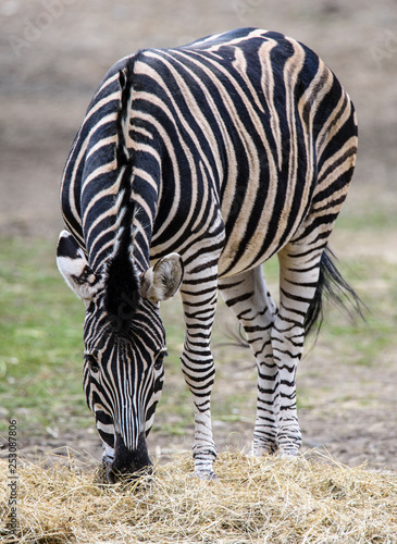 The plains zebra (Equus quagga, formerly Equus burchellii) as the common or Burchell's zebra in the ZOO - 253087806
