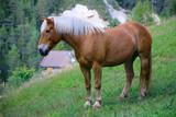 Fototapeta Konie - Haflinger Pferd auf Weide © Aggi Schmid