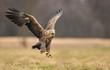 Leinwandbild Motiv White tailed eagle (Haliaeetus albicilla)