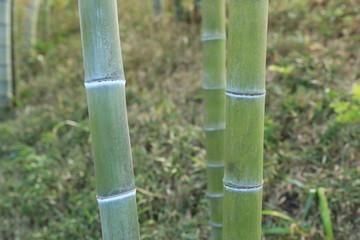 日本庭園の青竹 © 大沢 光太郎