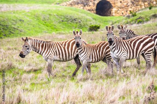 zebras in a field - 253106061
