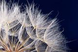 macro photo of dandelion seeds with water drops - 253113886