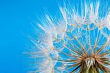Fototapeta Fototapeta z dmuchawcami -  macro photo of dandelion seeds with water drops © Pakhnyushchyy