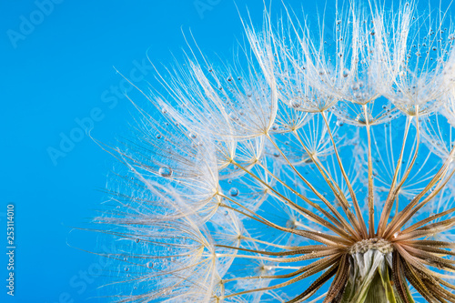 macro photo of dandelion seeds with water drops © Pakhnyushchyy