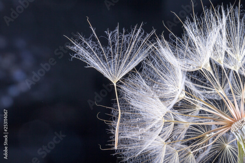 macro photo of dandelion seeds with water drops - 253114067