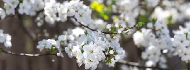 Spring flowers  on branches of a plum tree. © lms_lms