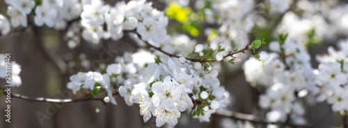 Spring flowers  on branches of a plum tree. - 253119401