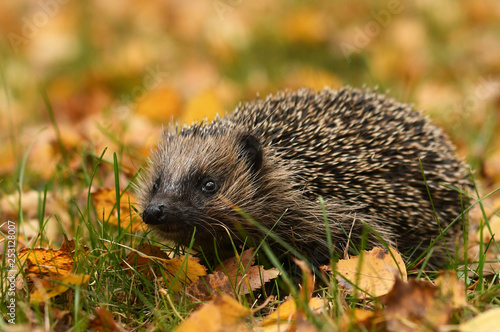 Hedgehog in autumn forest - 253128007