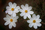 Fototapeta Kosmos - Close up of white cosmos flowers © Tata