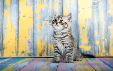Cute tabby kitten, Scottish Fold