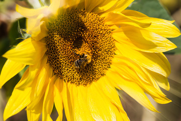 Bee on sunflower in sunny day, close up