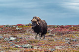 Musk Ox Defends Tundra Turf
