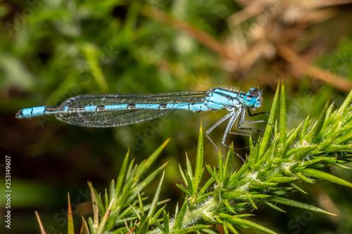 canvas print picture Blue damselfly (Enallagma cyathigerum)