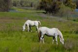 Fototapeta Konie - White horses © Harris Shiffman