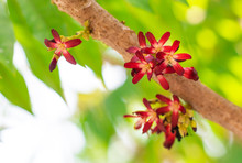 "Постер, картина, фотообои ""Closeup colorful flowers of Bilimbi, Bilimbing, Cucumber tree, Tree sorrel (Averrhoa Bilimbi L.) are blossoming on trunk and branch of tree in fruits garden"""