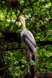 Image of Painted Stork (Mycteria leucocephala) on nature background. Wild Animals. Bird.