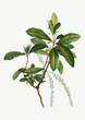 Swamp Titi leaves