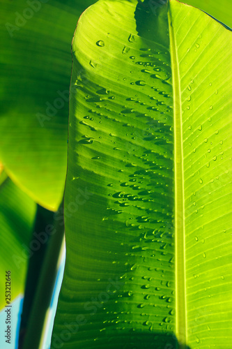 Banana leaf texture background with water dew droplet. - 253212646