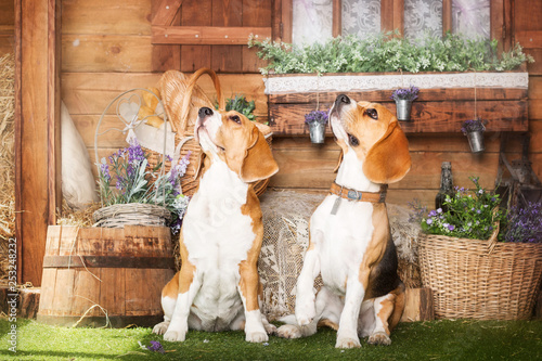obraz PCV Dressed beagle dogs sitting in beautiful interior