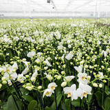 dutch greenhouse full of white orchids in the netherlands near zaltbommel in brabant