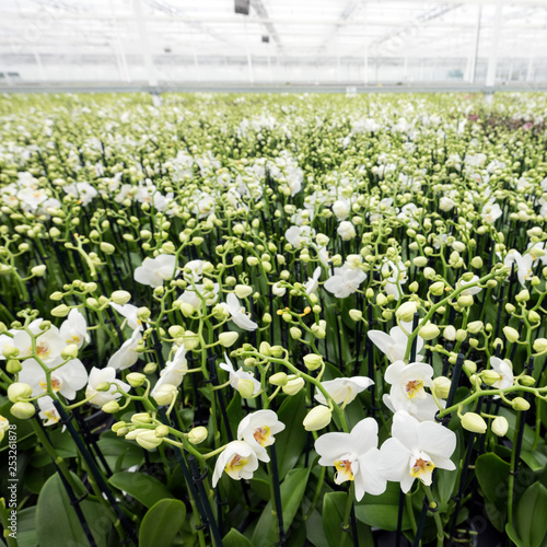 dutch greenhouse full of white orchids in the netherlands near zaltbommel in brabant - 253261878