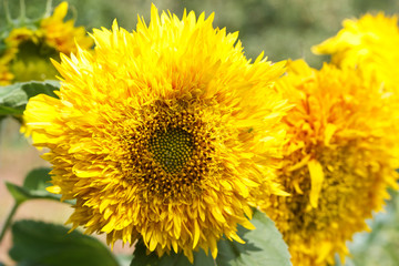 yellow flowers or sunflowers grow in a field in a meadow in the sun in summer and spring