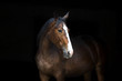 Horse portrait isolated  on black background
