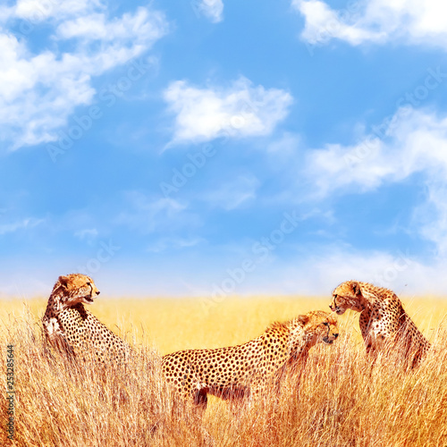 Group of cheetahs in the African savannah. Africa, Tanzania, Serengeti National Park.  Wild life of Africa.