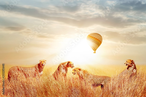 Group of cheetahs in the African savannah against beautiful sky and balloon. Tanzania, Serengeti National Park.  Wild life of Africa.