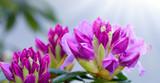 Close-up of beautiful pink Azaleas flowers in springtime.