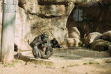 Fototapeta Kamienie - chimpanzees sitting on sun in zoological park, barcelona, spain © LIGHTFIELD STUDIOS
