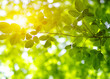 Green leaves on the sun. - 253308642