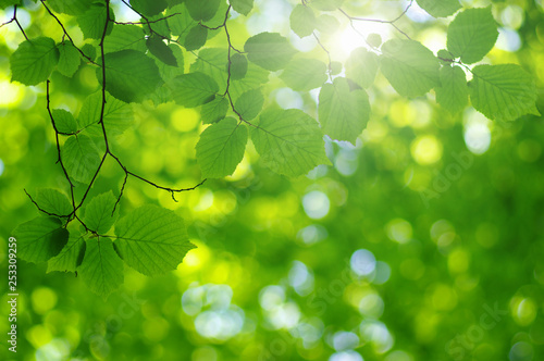 Green leaves on the sun. - 253309259