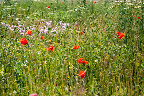 A bright summer meadow with fresh grass and scarlet  poppy flowers - 253330022