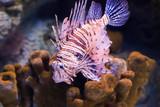 Lion fish in the dark water.