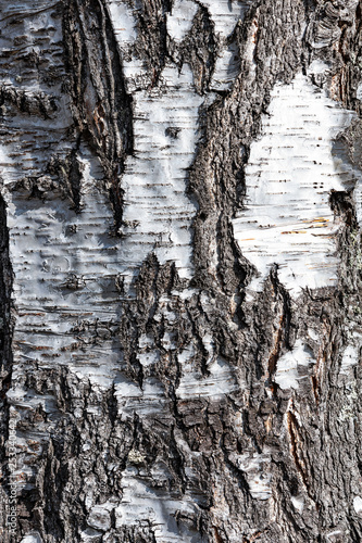 Texture of old birch tree in close-up (high details). - 253340642