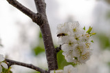 Bee on a cherry blossom branch