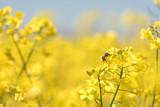 Honneybee collecting nectar on a rape flower