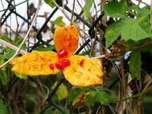 """Постер, картина, фотообои """"Margose ou melon amer. Momordica charantia. Cucurbitacée en Guadeloupe"""""""