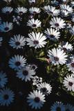 Set of white daisies in sunlight