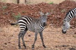 Baby plains zebra in Serengeti National Park, Tanzania