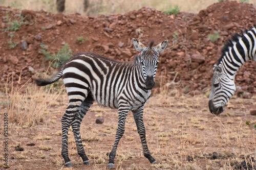 Baby plains zebra in Serengeti National Park, Tanzania - 253353861