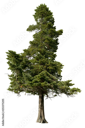 Tree pine isolated on white background. Spruce