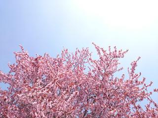 Sakura Japanische Kirschblüte