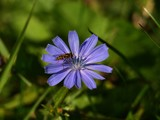Small insect (wasp-like) feeding on cornflower petals (bloom) on meadow (macro)