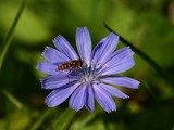 Small insect (wasp-like) feeding on cornflower (bloom) on meadow (macro)