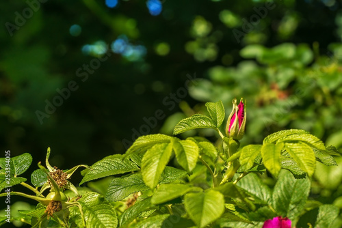 Pink flower of wild rose growing on the branch of a bush in bright sunlight. Nature concept. Natural background. A place for your inscription. Background for site design, landing page or blog. - 253394005