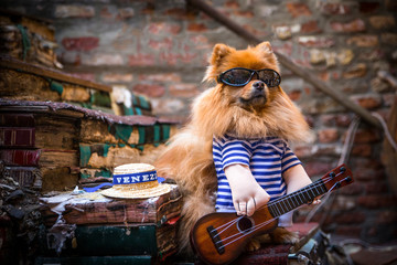 Spitz-Type Dog dressed as a gondolier in Venice, with guitar