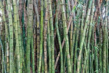 Green Bamboo background © Diego Gomez
