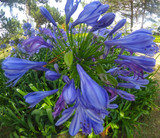 Agapanthus Wild Purple flowers in the garden